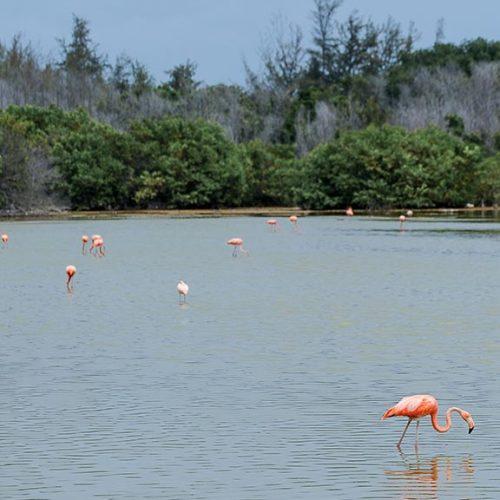 Fenicotteri rosa in acqua, Cayo Guillermo, Cuba