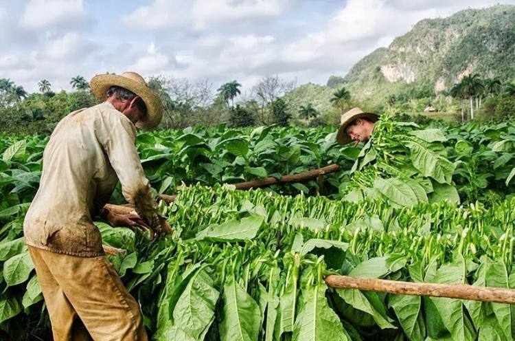 Sigari cubani : i migliori al mondo